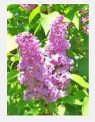 Lilac Festival in Pine Mountain Club