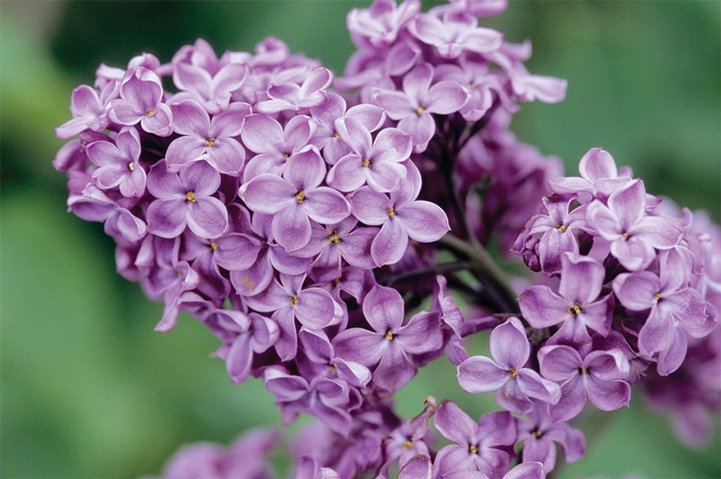 Lilac Festival in Pine Mountain Club