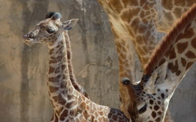 "New at the Zoo ""Baby"" Giraffe Chad Debuts"