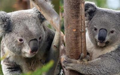 """Two Koala """"Ambassadors"""" On View at Santa Barbara Zoo."""