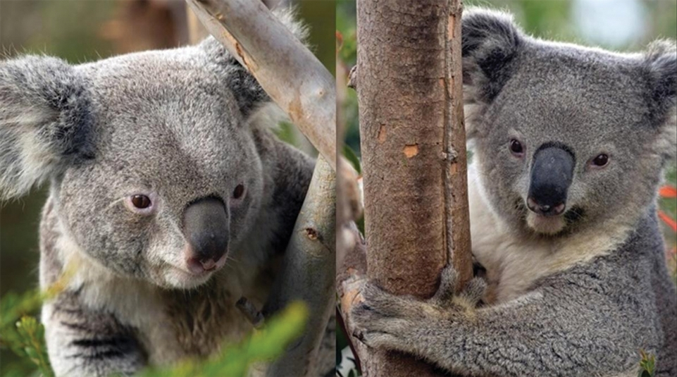 "Two Koala ""Ambassadors"" On View at Santa Barbara Zoo."