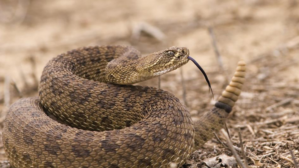 Music to Our Ears, or is it? It's rattlesnake season!